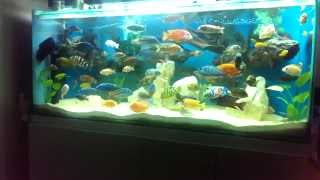 getlinkyoutube.com-African Cichlid 100 Gallon Tank Update 7.12.14