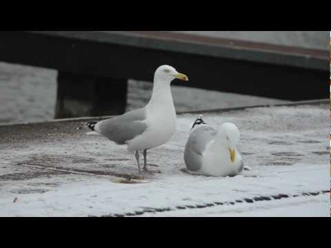 European Herring Gulls - pair bonding behavior