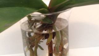 getlinkyoutube.com-2nd Phalaenopsis transferred to semi-water method