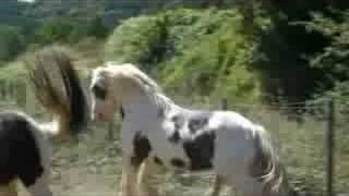 getlinkyoutube.com-Irish Cob Saille Naturelle Cillbarra Tom