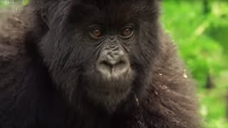 getlinkyoutube.com-Family of Mountain Gorillas - Cousins - BBC