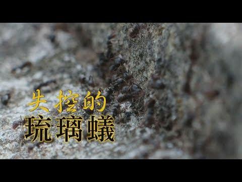 【外來種螞蟻】失控的琉璃蟻(我們的島 第1033集 2019-12-09) - YouTube