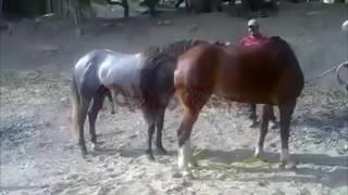 Horses Mating Nice