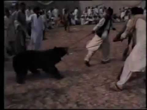 Brown Black bear dog fighting Must stop Pakistan Animal Abuse