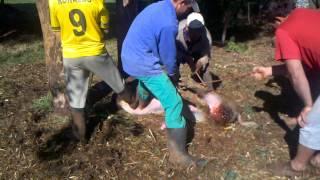 getlinkyoutube.com-capando porco em joia