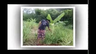 getlinkyoutube.com-กล้วยกลับหัว บ้านร่องเจริญ ราชบุรี