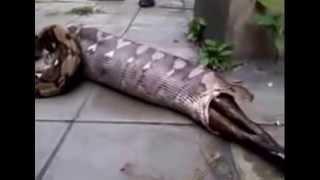 getlinkyoutube.com-cari tahu apa yang keluar dari perut ular ini