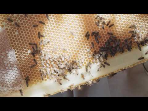 Bees cure a man's stress from high powered job in finance (video)