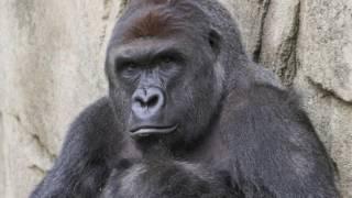 getlinkyoutube.com-A TRUE FRIEND -- RIP HARAMBE (TRIBUTE SONG)