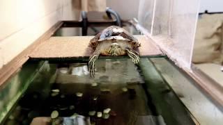 getlinkyoutube.com-Red Eared Slider Turtle