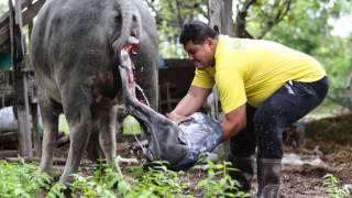 getlinkyoutube.com-วินาทีกำเนิดชีวิตใหม่ควายไทย, อุบลราชธานี : Born in Buffalo : Thailand