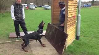 getlinkyoutube.com-Doberman David Von Hunnoterra ipo1 schutzhund training bitework protection