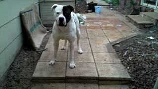 getlinkyoutube.com-Big American Bulldog