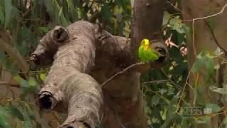 getlinkyoutube.com-Documentario Periquitos Australiano Selvagem