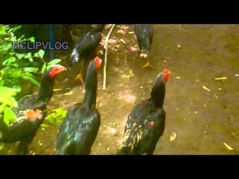 Ayam Birma telur hijau, Myanmar green egg Chicken