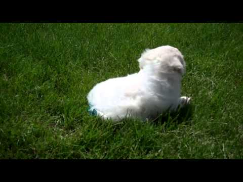 Denning Farms Maltipoo Femals Playing Outside!!