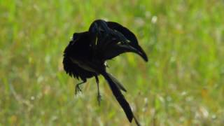 Widowbird Jumping Competition - Planet Earth II
