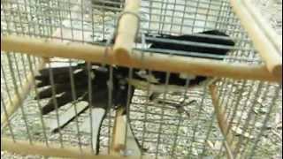 getlinkyoutube.com-Captura de pájaro degollado (Pheucticus ludovicianus) en casa