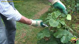 potare le rose sfiorite in estate