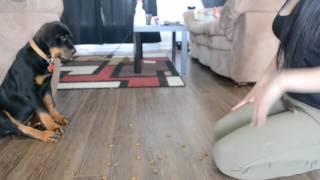getlinkyoutube.com-12 weeks rottweiler puppy traning