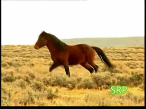 Ultimos cavalos selvagens -USA