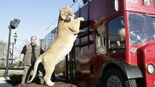World's BIGGEST CAT! The LIGER (a LION TIGER cross SUPER-BREED!)