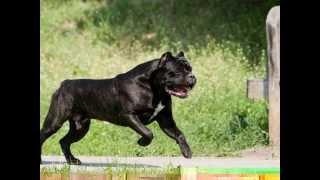 getlinkyoutube.com-cane corso
