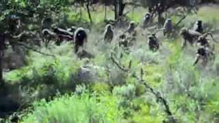 getlinkyoutube.com-Baboons vs Python