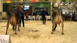 getlinkyoutube.com-Feileite 2011 - Guzerá - Vaca adulta