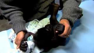 getlinkyoutube.com-Final Preps for Baby Gorilla Kamina's Introduction - Cincinnati Zoo