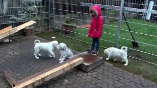 getlinkyoutube.com-Zentralasiatische Owtscharka puppies