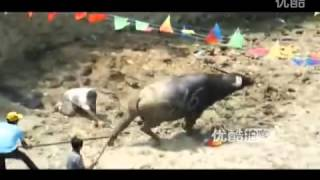getlinkyoutube.com-Amusing bullfight in Guizhou province, China