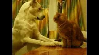 getlinkyoutube.com-алабай против кота