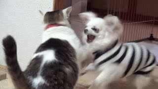 getlinkyoutube.com-【一番激しかった猫と犬のバトル!】Nora and Koo of Excite the battle. lol