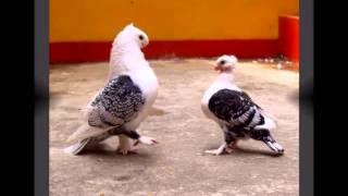 getlinkyoutube.com-Merpati Hias di Naff Pigeon Loft Part I