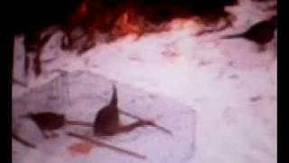 getlinkyoutube.com-Ловушка на фазана 2012