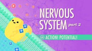 The Nervous System, Part 2 - Action! Potential!: Crash Course A&P #9