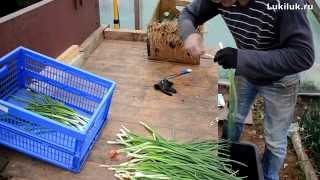 getlinkyoutube.com-Очистка пера лука перед продажей