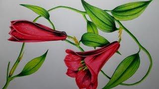 getlinkyoutube.com-Cómo dibujar una flor con lápices de colores paso a paso, dibujando un Copihue Realista