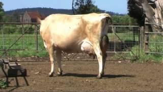 getlinkyoutube.com-2013 Great Australian Jersey On Farm Challenge