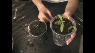 How to Transplant Your Seedlings