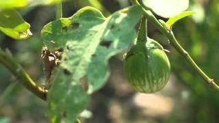 getlinkyoutube.com-ไร่สำราญใจเรียนรู้เ้รื่อง...หอมแผ่นดิน ตอน...เกษตรน้ำหยด
