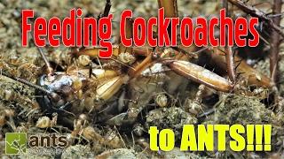 getlinkyoutube.com-FEEDING COCKROACHES TO ANTS