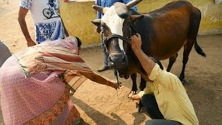 Cow Video for Indian Children and Kids | Hindu Woman worship Cow in goshala | गाय माता की पूजा