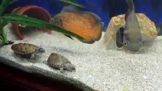 getlinkyoutube.com-Scott Haley's aquarium,Feeding tropical fish & turtles nightcrawlers