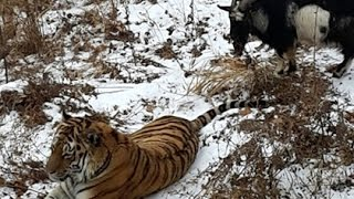 getlinkyoutube.com-Safari Park / Russia Timur Goat Loves Amur Tiger