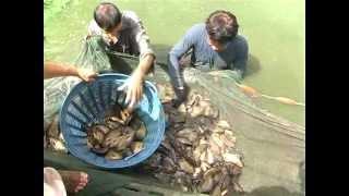 getlinkyoutube.com-ปลาหมอไทยกับวิถีล้านนาหริภุญไชย