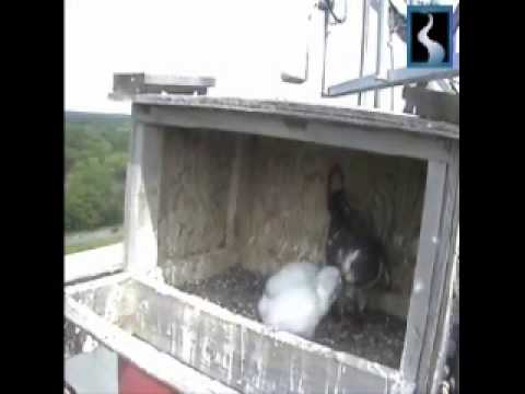 Great River Falcons Nest June 19th 2013