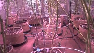 """""""Lollipopped""""- Before and after - what you need to know about """"lollipopping"""" your cannabis plants"""