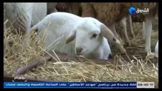 getlinkyoutube.com-الجلفة: روبرتاج حول تربية الماشية من اعداد نورين ع الشروق تيفي